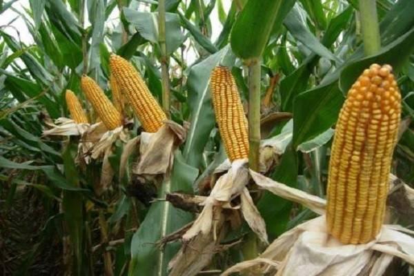 2021年玉米价格会掉吗?