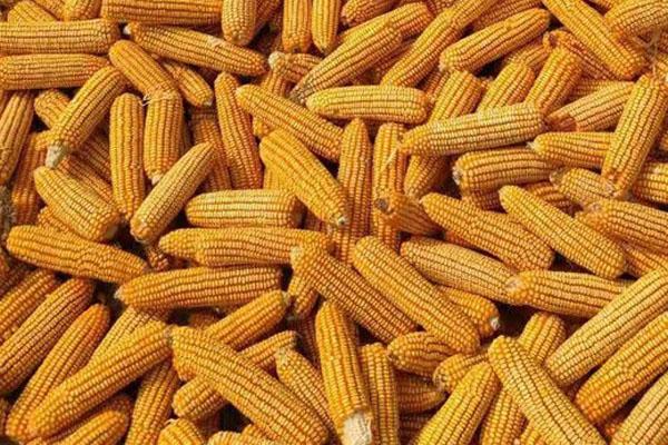 2021年下半年玉米价格预测(附1月23日玉米最新价格)