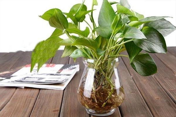可以水培的室内植物有哪些?