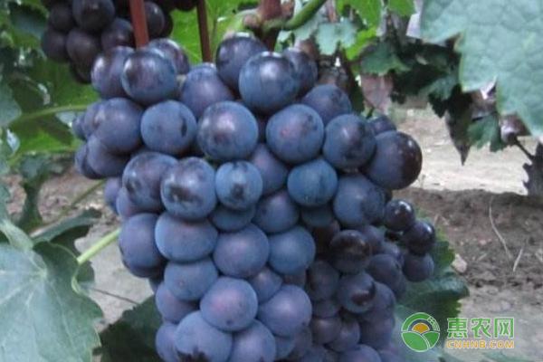 巨峰葡萄苗怎么种植?