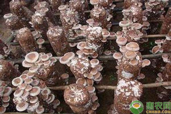 种植课堂:蘑菇施肥注意事项