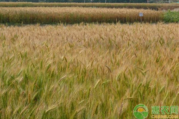 小麦纹枯病的暴发条件以及防治方法