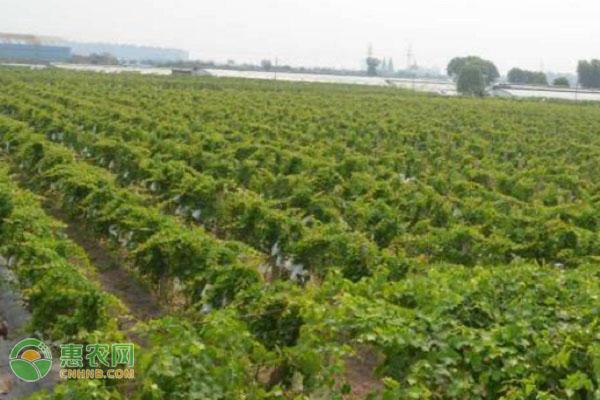 卡式玫瑰葡萄苗哪里有卖?葡萄苗要怎么挑选?