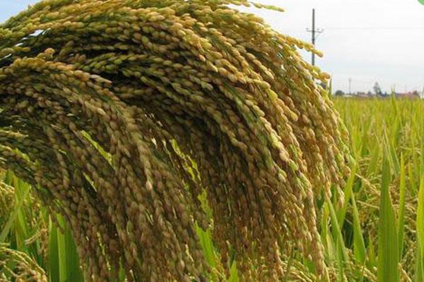 稻谷价格多少钱一斤?2021稻谷价格最新行情