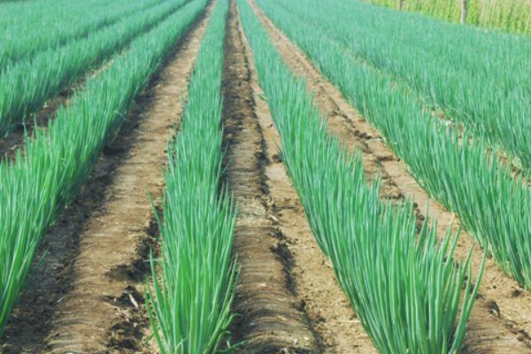 大葱价格多少钱一斤?2021大葱种植前景怎么样?