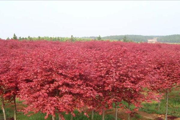 枫树苗多少钱一株?有多少个品种?