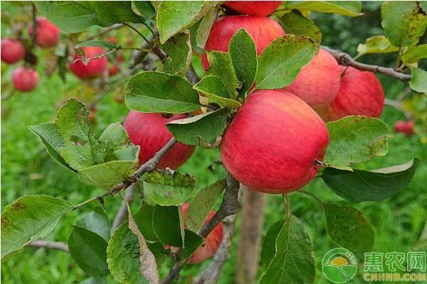 北方适合种植什么苹果树苗?