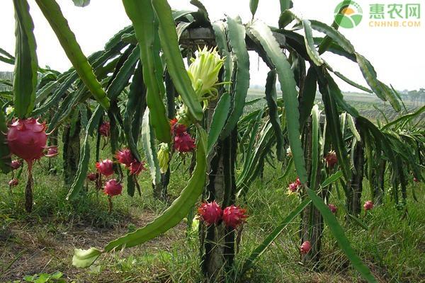 火龙果苗多少钱一棵?种植多久开花结果?