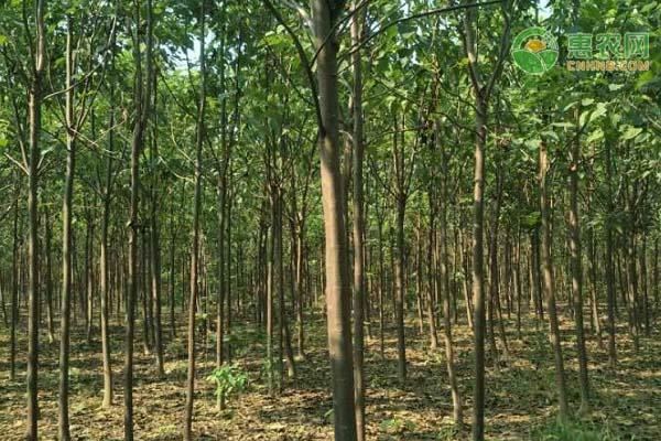 楸树苗批发多少钱一棵?楸树的用途和价值