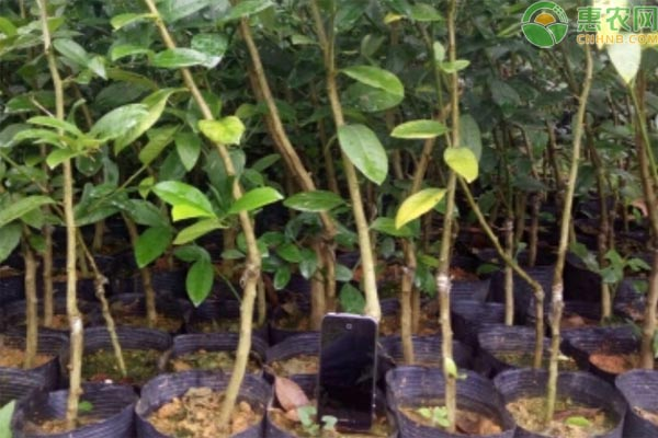 香水柠檬苗价格是多少一棵?种植前景如何?