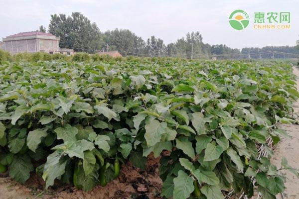 绿茄子高产品种有哪些?亩产量多少?