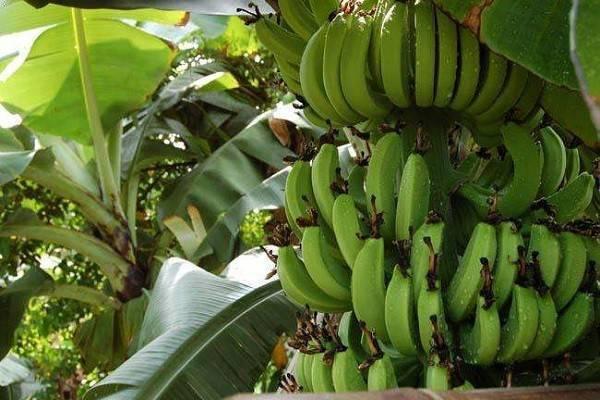 日本栽培出可连皮食用香蕉是怎么回事?