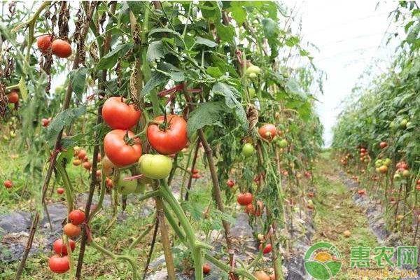 西红柿有哪些高产品种?亩产量多少?