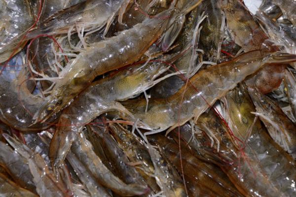 2021基围虾价格多少钱一斤?基围虾价格为何上涨?