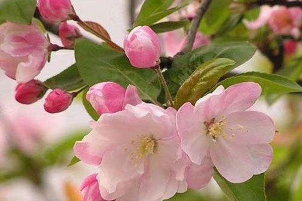 海棠苗品种有哪些?
