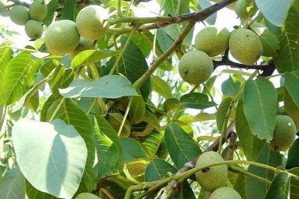 香玲核桃苗多少钱一棵?种植前景如何?