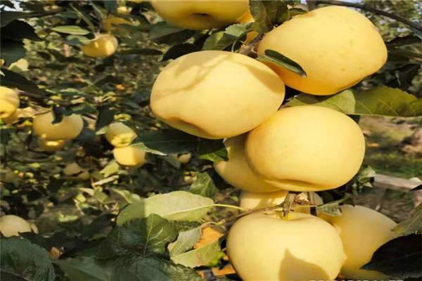 黄金苹果苗价格多少钱一棵?有哪些栽植方法?