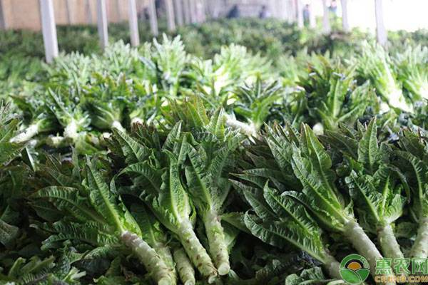 莴笋叶的副作用是什么?