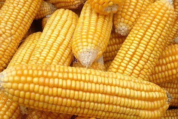 2021年高产玉米新品种