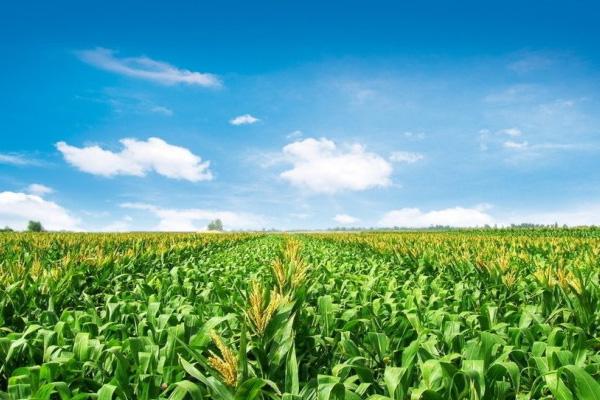2021年排名第一的玉米品种有哪些?