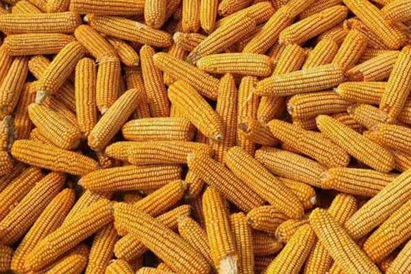 2021清明节过后玉米价格会涨吗?