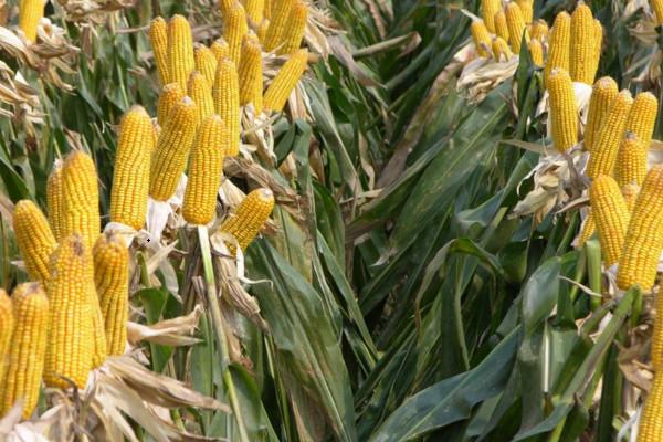 今日玉米价格多少钱一斤?2021年4月7日玉米价格最新行情