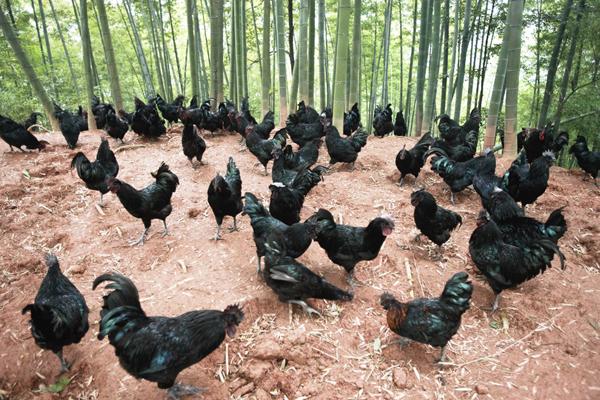 想要去农村养5000只土鸡,大概需要投资多少钱?