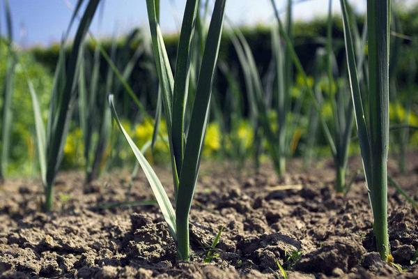 在农村种植韭菜的时候,是老根移栽好还是直接撒子播种好?