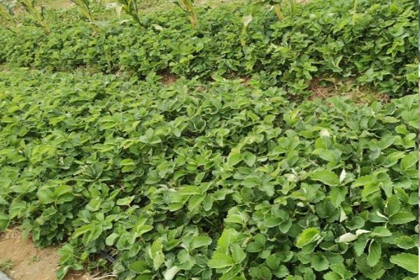 章姬草莓苗哪里有卖?批发价多少钱一棵?