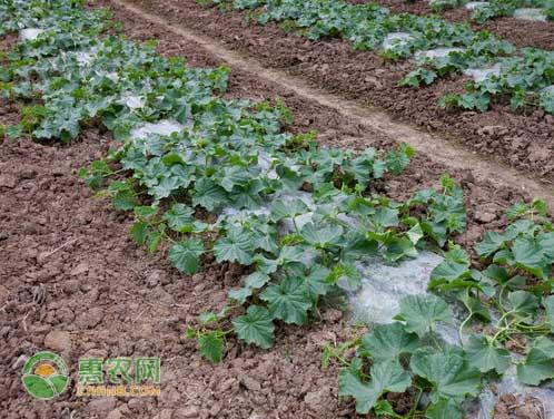 早春红玉西瓜苗价格多少钱一棵?有哪些种植要点?