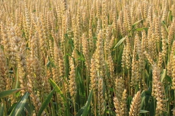 今日小麦价格多少钱一斤?2021年4月15日小麦价格最新行情