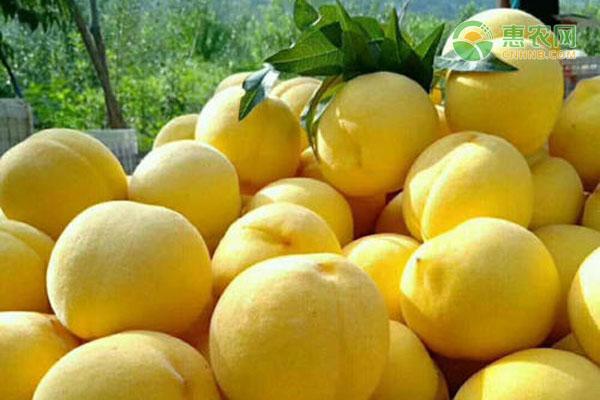 黄金香桃树苗批发价格多少钱一株?如何定植?