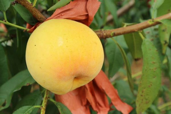 最新桃树苗品种及价格