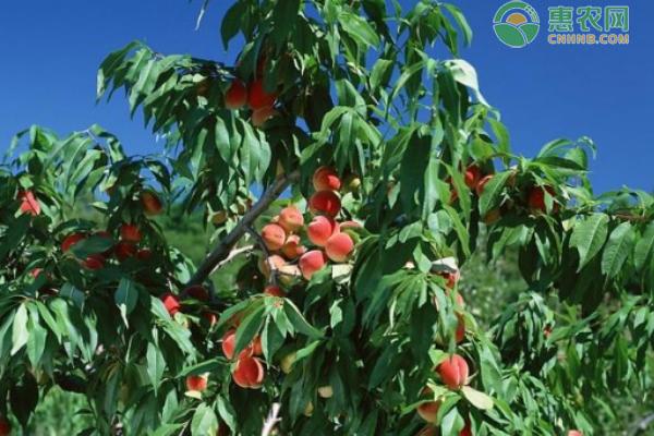 东北三省桃树苗品种有哪些?