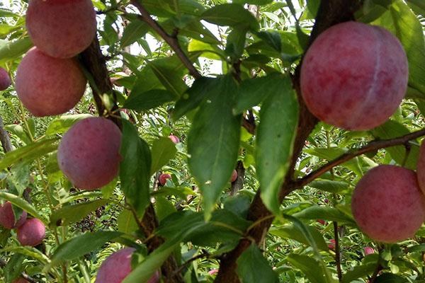 贵的李子树苗是什么品种?