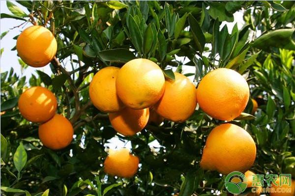 橙子产地主要在我国哪几个省份?橙子常见品种有哪些?