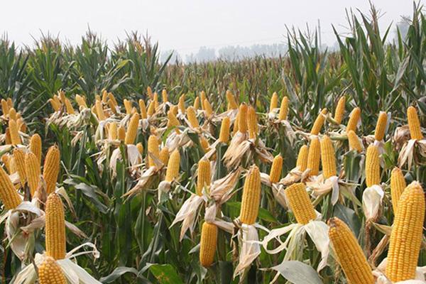 2021玉米种子最好的品种排行榜