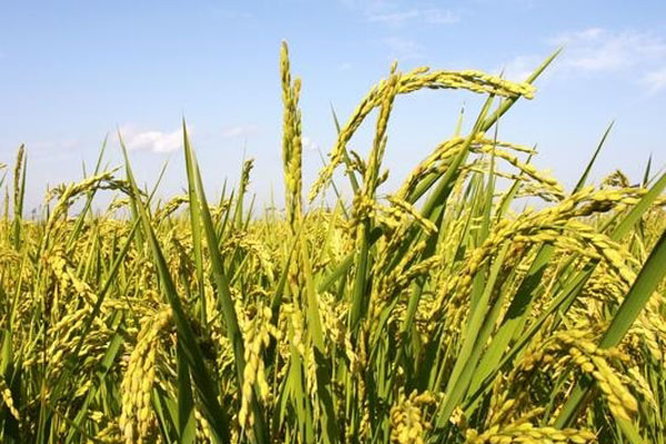 2021水稻种植补贴多少钱一亩?什么时候发放?