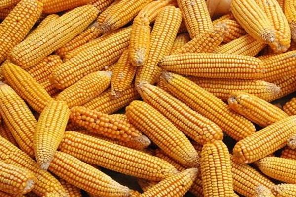 现在种植玉米的人很多,我们该如何挑选玉米品种?