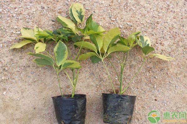 养殖鸭掌木如何管理能多发芽?