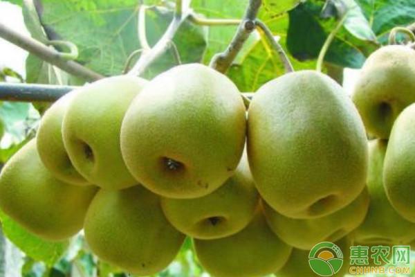 6月猕猴桃的种植管理要点
