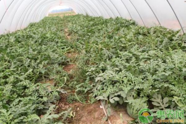 大棚西瓜栽培技术与管理