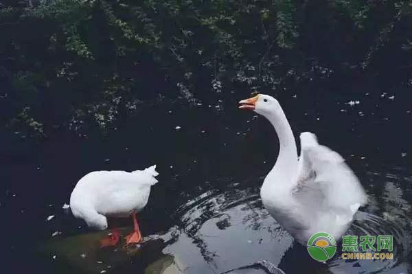 大白鹅和天鹅有什么区别?