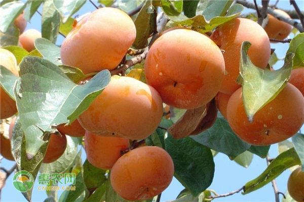 柿子几月份成熟上市?有哪些常见品种?