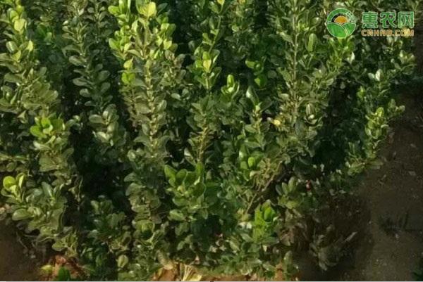 我国黄杨产地主要分布在哪?黄杨有哪些常见的品种?