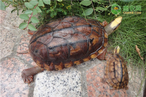 中华草龟分布省份有哪些?