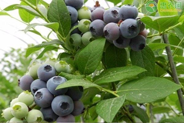 蓝莓一天吃多少克合适?吃多了会怎样?