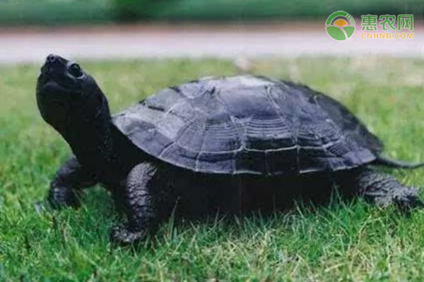 墨龟哪个产地的好?生活习性有哪些?