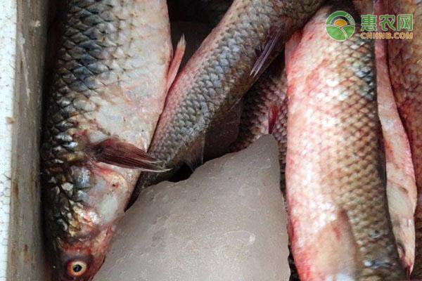 梭子鱼产地在哪?梭子鱼和鲻鱼的区别在哪?