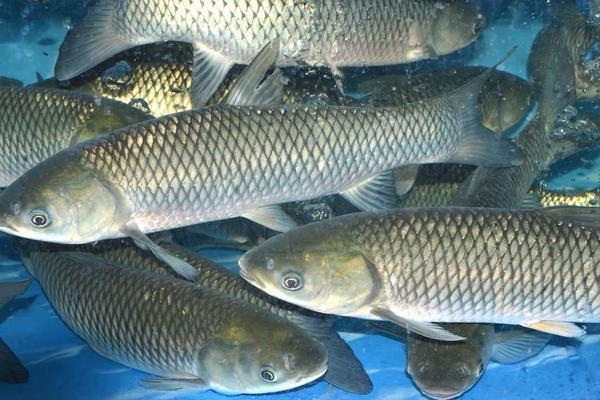 草鱼产地在哪?草鱼养殖前景分析